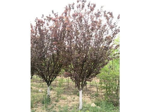 紫叶李8-12CM