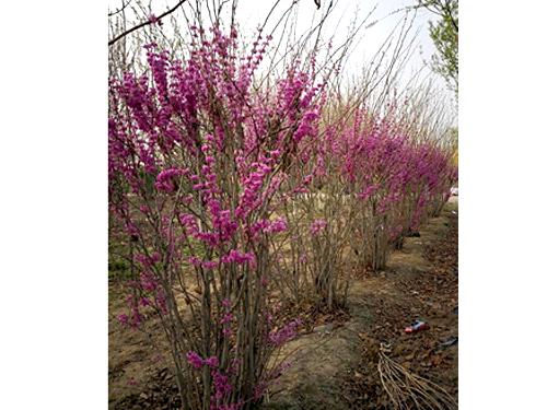 紫荆冠幅2-3M